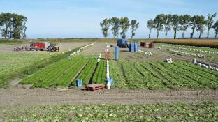 Paysage de cultures légumières typique des polders modernes, digue visible au loin, alignements de peupliers, saisonniers au travail.